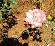 Flores frescas del jardín del jardín Imagen de archivo libre de regalías