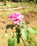 Flores frescas del jardín del jardín Fotografía de archivo