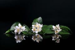 Flores frescas del jazmín Fotos de archivo
