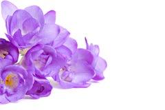 Flores frescas do fresia Foto de Stock Royalty Free