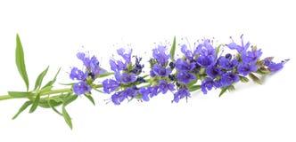 Flores frescas do hyssop foto de stock