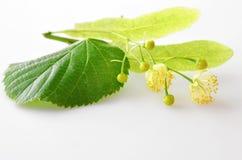 Flores frescas do Linden Imagens de Stock