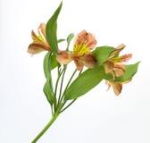 Flores frescas en el fondo blanco Imágenes de archivo libres de regalías