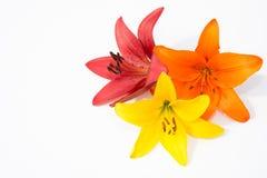 Flores frescas hermosas Dulzura y olor agradable Lirios del jardín fotografía de archivo