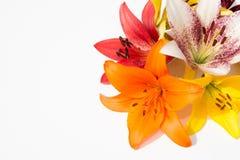 Flores frescas hermosas Dulzura y olor agradable Lirios del jardín foto de archivo libre de regalías