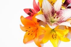 Flores frescas hermosas Dulzura y olor agradable Lirios del jardín fotos de archivo libres de regalías