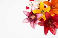 Flores frescas hermosas Dulzura y olor agradable Lirios del jardín imágenes de archivo libres de regalías