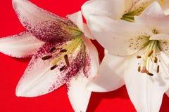 Flores frescas hermosas Dulzura y olor agradable Lirios del jardín Fondo rojo fotos de archivo libres de regalías