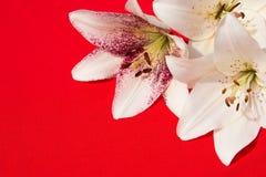 Flores frescas hermosas Dulzura y olor agradable Lirios del jardín Fondo rojo foto de archivo