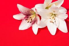 Flores frescas hermosas Dulzura y olor agradable Lirios del jardín Fondo rojo fotos de archivo