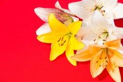 Flores frescas hermosas Dulzura y olor agradable Lirios del jardín Fondo rojo imagen de archivo
