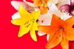 Flores frescas hermosas Dulzura y olor agradable Lirios del jardín Fondo rojo imágenes de archivo libres de regalías