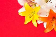 Flores frescas hermosas Dulzura y olor agradable Lirios del jardín Fondo rojo imagen de archivo libre de regalías