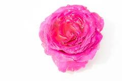 Flores frescas hermosas Dulzura y olor agradable Rosas del jardín imagen de archivo libre de regalías