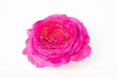 Flores frescas hermosas Dulzura y olor agradable Rosas del jardín fotos de archivo libres de regalías