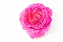 Flores frescas hermosas Dulzura y olor agradable Rosas del jardín foto de archivo