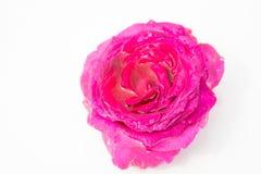 Flores frescas hermosas Dulzura y olor agradable Rosas del jardín fotografía de archivo