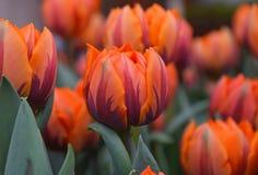 Flores frescas marrons alaranjadas da tulipa Fotos de Stock