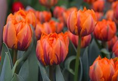 Flores frescas marrons alaranjadas da tulipa Foto de Stock Royalty Free