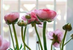 Flores frescas rosadas hermosas del ranúnculo en el fondo blanco Arreglo para la decoración, regalo, boda, celebración imagen de archivo libre de regalías