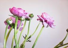 Flores frescas rosadas hermosas del ran?nculo en el fondo blanco Arreglo o boda y celebración imágenes de archivo libres de regalías