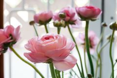 Flores frescas rosadas hermosas del ran?nculo en el fondo blanco Arreglo para casarse y la celebración fotos de archivo
