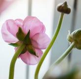 Flores frescas rosadas hermosas del ran?nculo en el fondo blanco primer aislado decoraci?n rom?ntica fotos de archivo libres de regalías