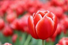 Flores frescas vermelhas da tulipa com folhas verdes Fotografia de Stock Royalty Free