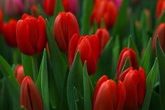 Flores frescas vermelhas da tulipa com folhas verdes Imagens de Stock Royalty Free