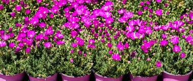 Flores fucsias del gerbera en floreros fucsias Imagenes de archivo