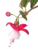 Flores fucsias del rojo de la flor Fotografía de archivo libre de regalías