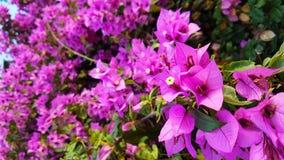 Flores fucsias que ponen en contraste con un fondo frondoso verde hermoso imagen de archivo