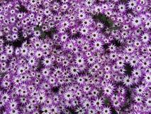 Flores - gerbera Foto de Stock Royalty Free