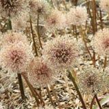 Flores gigantes da cebola Fotos de Stock Royalty Free