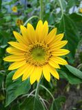 Flores, girassol Foto de Stock Royalty Free