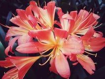 Flores grandes do rosa e do amarelo na comunidade fotografia de stock royalty free