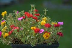 Flores grandiflora de Portulaca Imagem de Stock Royalty Free