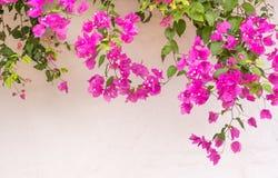 Flores griegas de la buganvilla del verano en la pared blanca foto de archivo