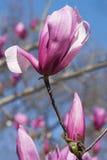 Flores híbridas da magnólia do espectro Imagem de Stock