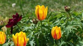 Flores híbridas del tulipán del centelleo en gardenbed con las peonías en la brisa de la primavera, 4K metrajes