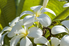 Flores hawaianas Fotografía de archivo
