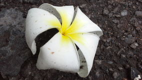 Flores hawaianas Imagenes de archivo