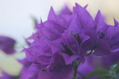 Flores hawaianas púrpuras Foto de archivo libre de regalías