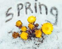 Flores hermosas Adonis entre nieve Imagen de archivo libre de regalías