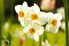 Flores hermosas blancas Foto de archivo