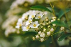 Flores hermosas blancas florecientes Blurred fotografía de archivo libre de regalías