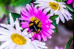 Flores hermosas con la abeja Imagen de archivo libre de regalías