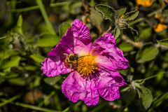 Flores hermosas con la abeja Imagen de archivo