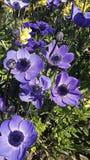 Flores hermosas, coronaria de la anémona Imagen de archivo libre de regalías