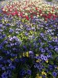 Flores hermosas, coronaria de la anémona Imágenes de archivo libres de regalías